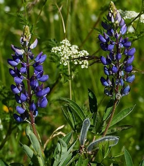 Landscape, Nature, Lupins, Black Forest, Reported