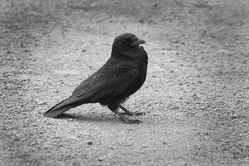 Crow, Summer, Sunset, Car Park, Bird, Nature, Black