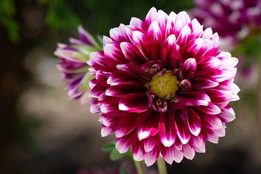 Dahlia, Bloom, Garden, Garden Plant, Dahlia Garden