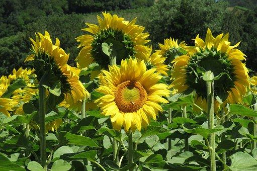 Sun Flower, Sunflower Field, Yellow, Bright, Sunny
