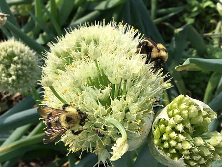 Bumble Bees, Bees, Bumblebee, Pollination, Pollinators