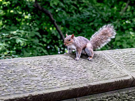 New York, Central Park, Squirrel, Pose, Model, Wall