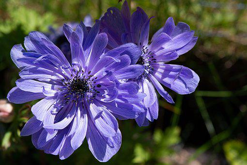 Anemone, Crown Anemone, Flower, Blue, Blue Anemone