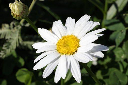 Daisy, Flower, Garden, Meadow, Field, White, One
