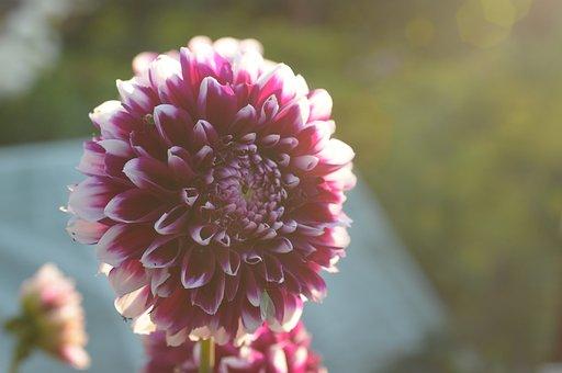 Dalia, Flower, Garden, Maroon, Pink