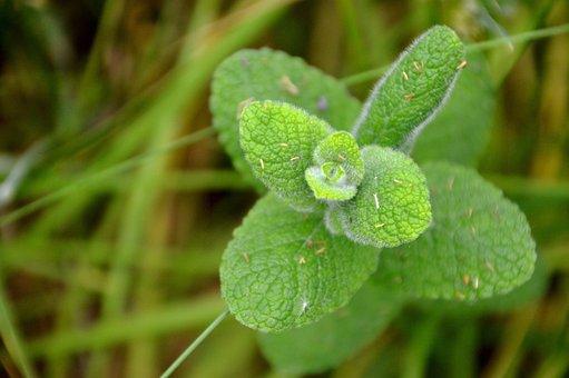 Mint, Flora, Nature, Plant, Commestible, Edible Plant