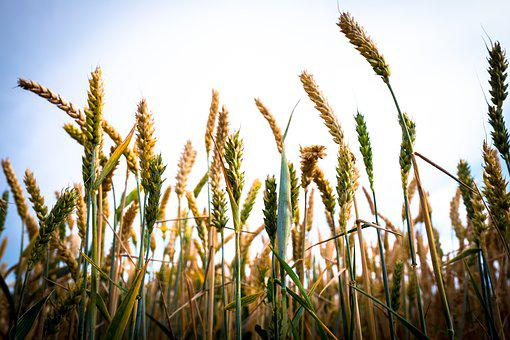 Wheat, Spike, Field, Meadow, Arable, Cereals, Nature