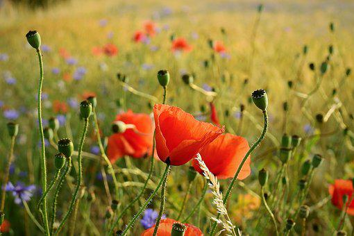 Field, Poppies, Figure, Nature, Landscape