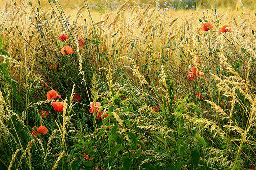 Village, Field, Landscape, Poppies, Agriculture