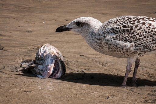 Seagull, Fish, Fish Head, Beach, Coast, Sand, Prey, Aas