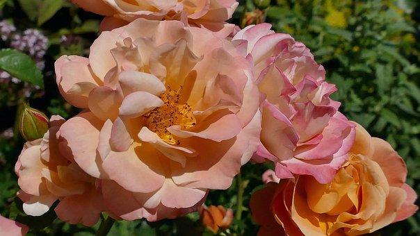 Rose, Garden Rose, Flower, Nature, Rose Bloom, Beauty