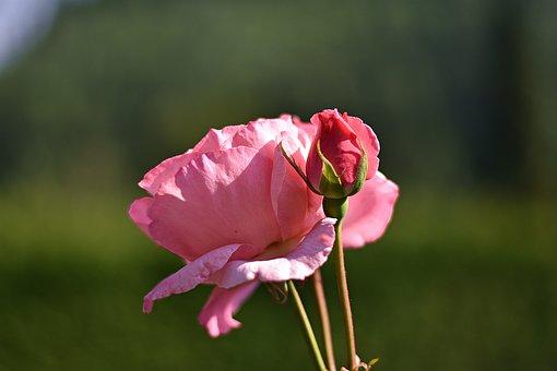 Flower, Summer, Rose, Nature, Blossom, Bloom, Spring