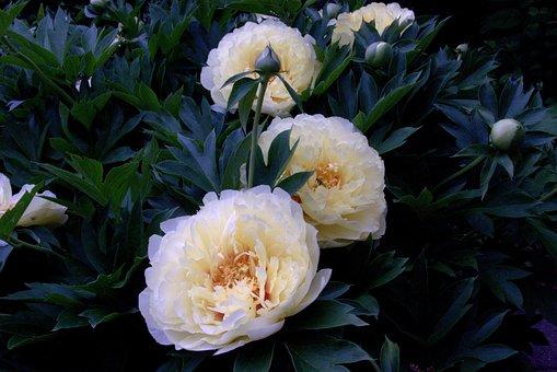 Bartzella Itoh Peony, Peony, Flower, Flora, Blossom