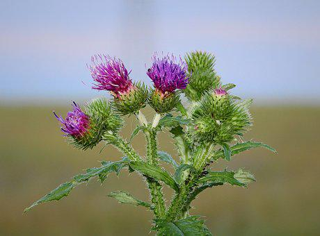 Thistle, Nature, Flower, Spikes