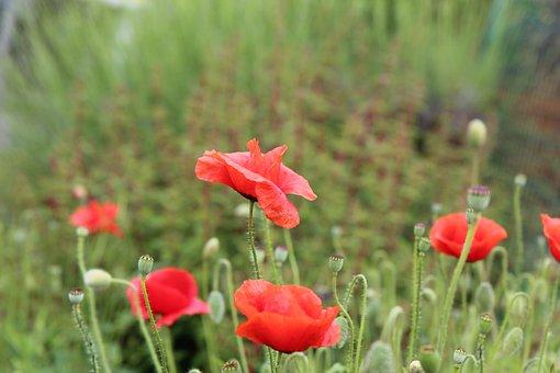 Poppies, Red Flowers, Flowering, Field, Poppy