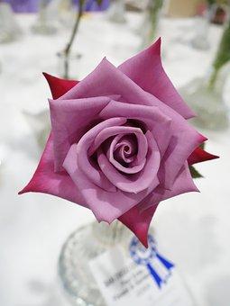 Rose, Pink, Magenta, Fuschia, Blossom, Flowers, Vase