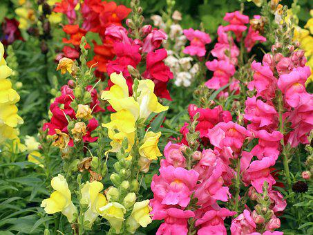 Flowers, Colorful, Snapdragons, Summer, Nature, Garden