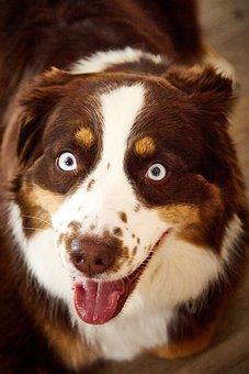 Dog, Blue Eye, Eye, Eyes, Fur, Husky-hybrid, Pets