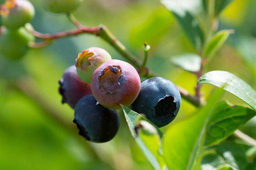 Blueberries, Garden, In The Garden, Ripening Process