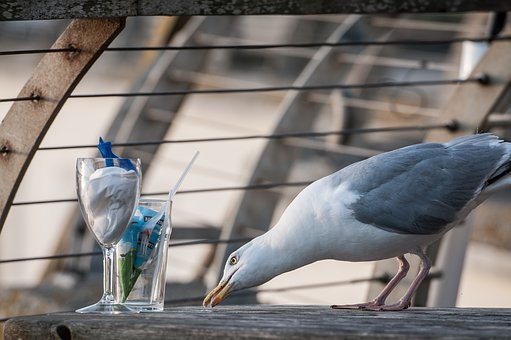 Seagull, Glasses, Bird, Table, Foraging