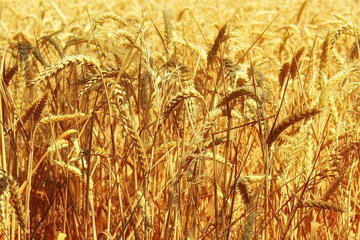 Cornfield, Arable, Gold, Golden, Spike, Agriculture