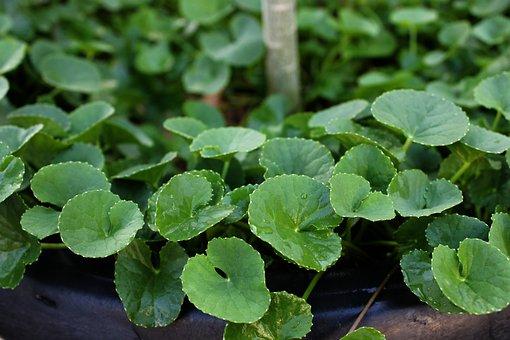 Centella, Herb, Plant, Flora, Health, Medicinal
