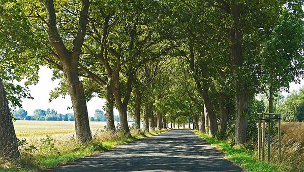 Old Avenue, Road, Rügen, July, Cornfield