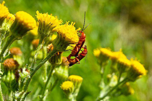 Common Soldier Beetle, Insect, Animal, Male, Female