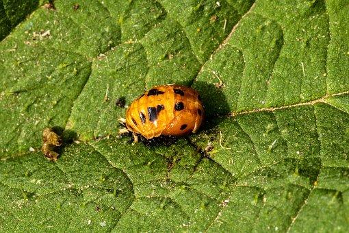 Marienkäfer Larva, Ladybug Doll, Hatching Ladybug