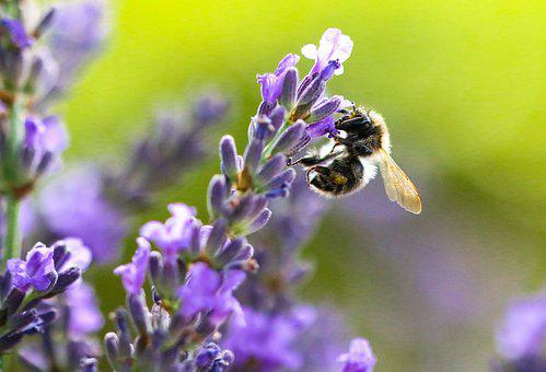 Nature, Animal World, Flower, Lavender, Hummel, Insect