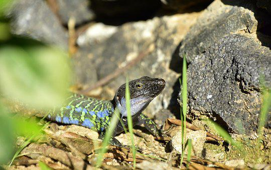 Reptile, Lizard, Exotic, Terrarium, Nature, Wild