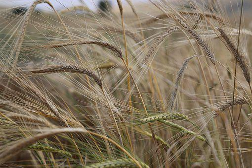 Wheat, Spike, Grain, Agriculture, Plant, Nature