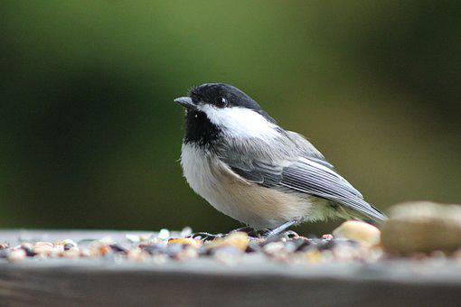 Bird, Chickadee, Songbird, Seeds, Nature, Wildlife