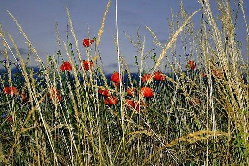 Field, Poppies, Landscape, Night