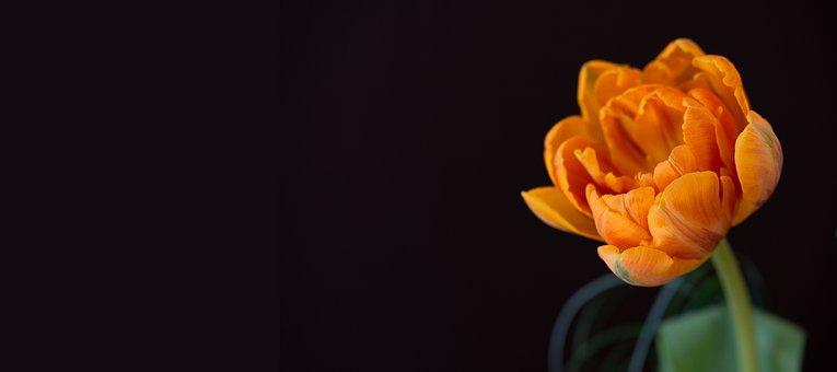 Tulip, Orange, Orange Tulip, Flower, Orange Flower