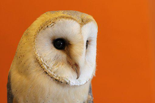 Owl, Barn Owl, Nocturnal, Orange