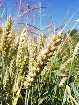 Cereals, Rural District, Wheat, Pasture Land, Field
