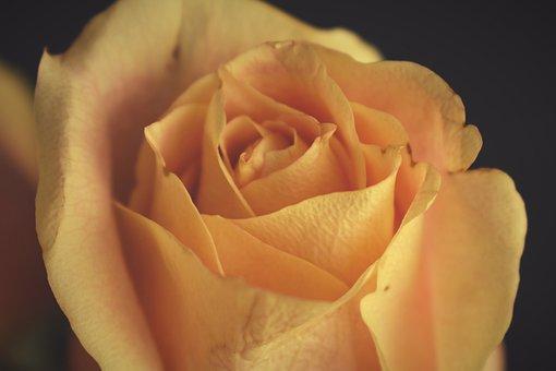 Rose, Roses, Yellow, Flowers, Flower, Petals, Bloom