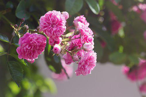 Roses, Pink, Pink Roses, Flowers, Pink Flowers
