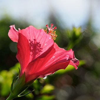 Hybiscus Flower, Hibiscus, Flower, Red, Nature, Plant