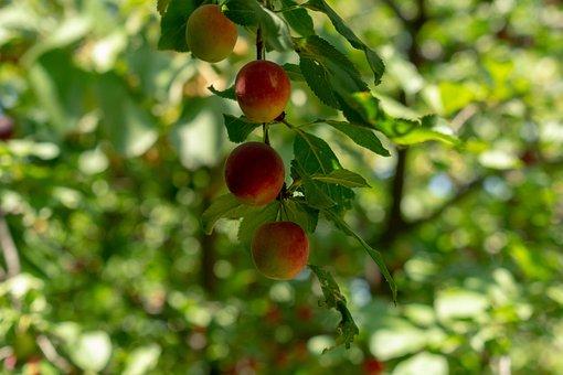 Fruit, Fresh, Plum, Tree, Healthy, Food, Vitamins, Red