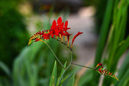 Montbretia, Red King, Flower, Plant, Blossom, Crocosmia