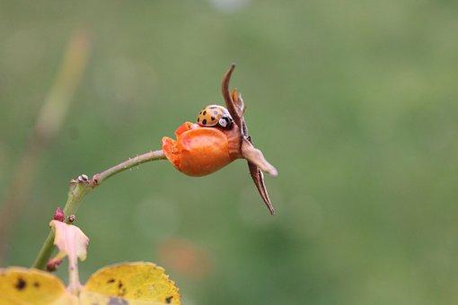 Ladybug, Ladybird, Insect, Bug, Beetle, Red, Orange