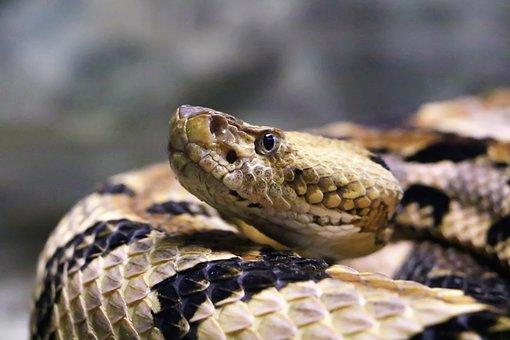 Snake, Rattlesnake, Reptile, Nature, Animal, Venomous