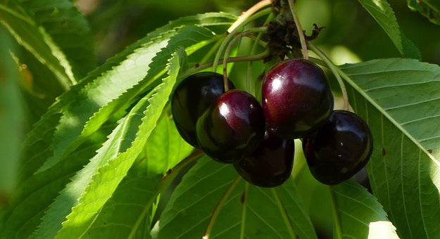 Nature, Agriculture, Trees, Cherries, Ripe, Leaves