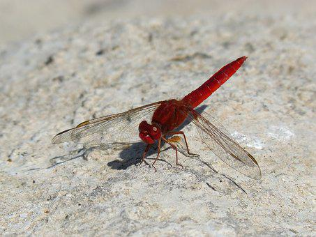 Dragonfly, Red Dragonfly, Erythraea Crocothemis, Rock