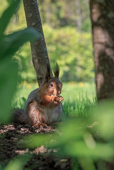 Squirrel, Rodent, Cute, Nature, Furry, Animals, Forests