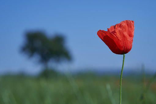 Poppy, Spain, Gallecs Park, Catalonia, Landscape