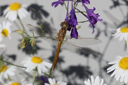 Dragonfly, Violet, Daisy, Insect, Beautiful, Summer