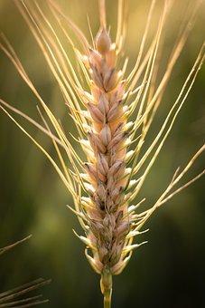 Barley, Wheat, Ear, Sun, Backlighting, Macro